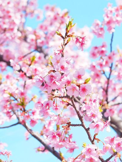 Flower Nature Beauty In Nature Close-up Fragility Springtime Freshness Pink Color Growth Tree Outdoors Cherry Blossom Blossom Cherry Tree Sky Kawazu Cherry Kawazu Cherry Tree Cherry Blossom 河津桜 Japanese Landscape Japan Photography Kiba 木場公園 Tokyo,Japan Sky Blue