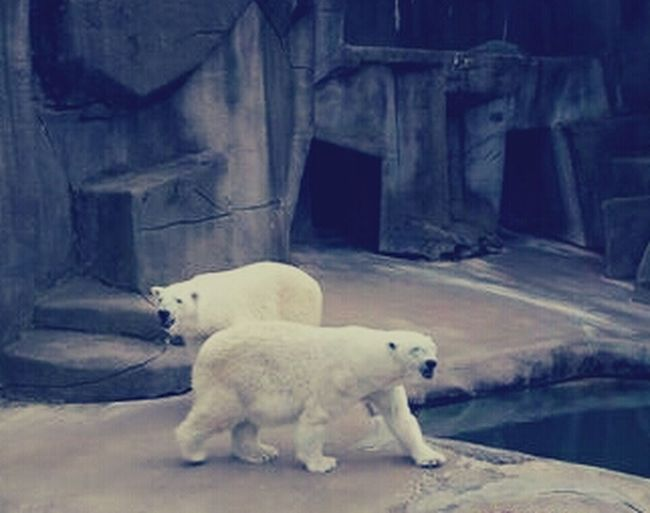 EyeEmNewHere Polar Bear Water Bears Erie Zoo, Erie, Pa Eyeemphotography Outdoors Mammal Nooneknows Beauty In Nature Whitebear Polarbears No People Cave Polarcave