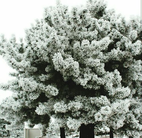 FREEZE Nature Low Angle View Tree Plant Outdoors Beauty In Nature Snow Snowing Frost Frosty Mornings Pine Tree Colorado Jolie Gorgeous ♥ Fragility Scenics Nature Flower Close-up Growth No People