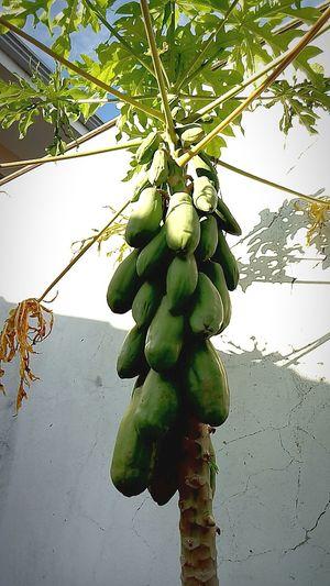 Foot Of Papaya !!! Delicious Fruit !!!♥♥
