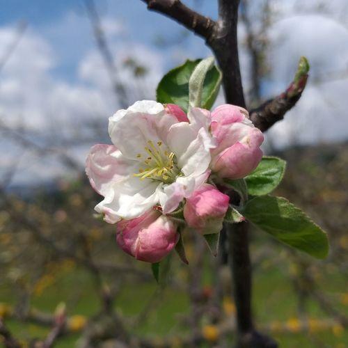 Apple flower...