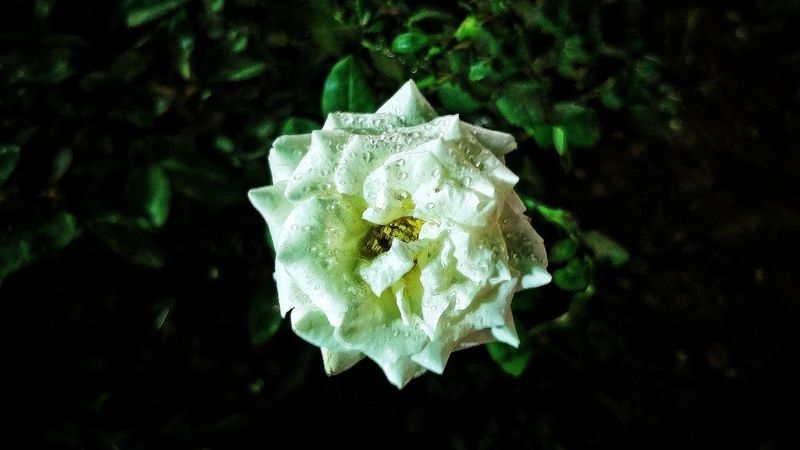 Rose and dew drops Dew Drops White Green Color Rose🌹 Nature_perfection Pollen Grain End Of The Eve Freshness Nature Beauty Water Surface Rainy Days Fragility Inner View Flower Head Flower Wilted Plant Petal Close-up Plant Single Rose Leaves In Bloom Blooming Flowering Plant Plant Life Rose - Flower Blossom