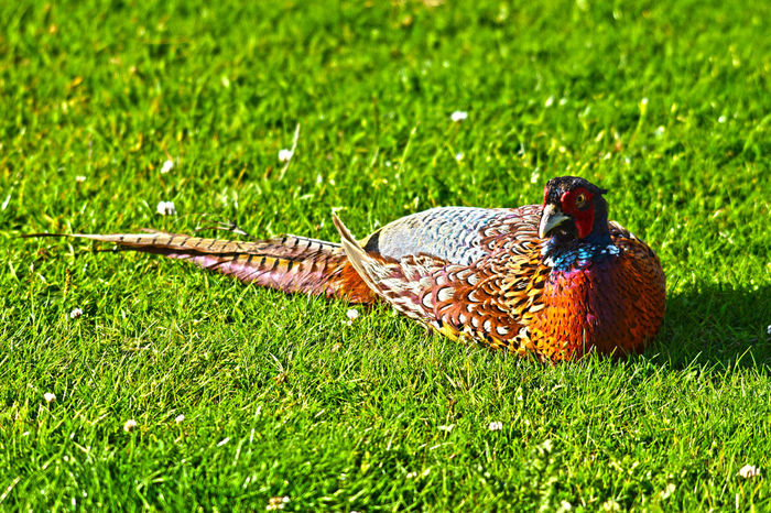 Pheasant enjoying the sunshine Pheasant Animal Themes Animals In The Wild Bird Close-up Day Nature No People One Animal Outdoors Pheasants Forever ~