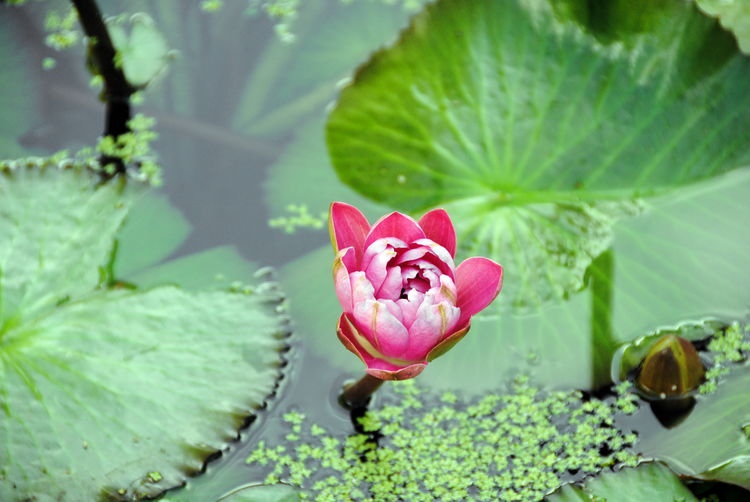 Lotus rosebud opening and showing its pink petals. Flower Plant Leaf Plant Part Beauty In Nature Flowering Plant Pink Color Growth Water Lily Vulnerability  Fragility Freshness Close-up Green Color Nature Petal Inflorescence Flower Head Pond Floating Lotus Water Lily No People Floating On Water Outdoors Leaves