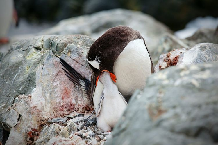 Penguin feeding young bird by rocks