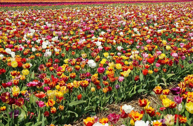 Multi colored tulips in field