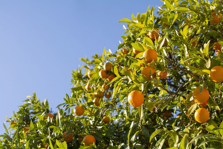 Fruit Healthy Eating Growth Food And Drink Food Plant Tree Freshness Sky Fruit Tree Plant Part Leaf Nature Clear Sky Citrus Fruit Low Angle View Orange Tree Green Color No People Day Orange Outdoors Organic Ripe