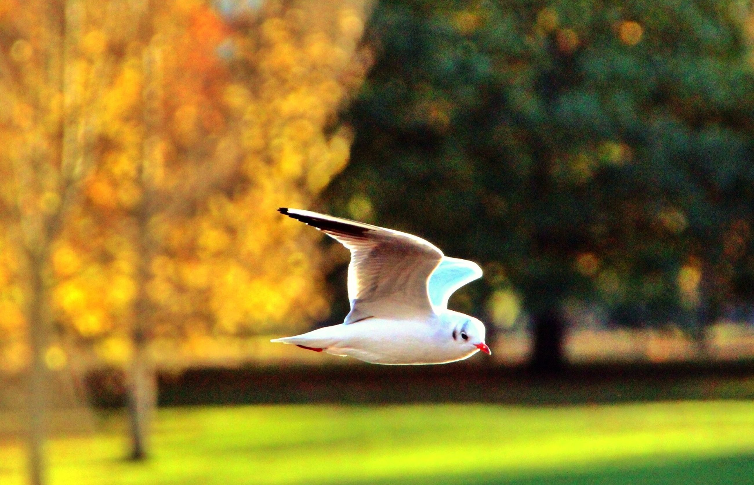 animal themes, bird, one animal, animals in the wild, wildlife, flying, focus on foreground, mid-air, seagull, spread wings, side view, nature, beak, full length, white color, selective focus, outdoors, field, close-up, no people