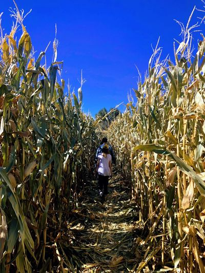 Wandering the cornfield Plant Growth Real People Sky Nature One Person Lifestyles Land Beauty In Nature Agriculture Field Standing Blue Rear View Day Landscape Leisure Activity Clear Sky Tree Outdoors