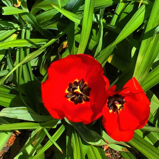 Bloom Beauty In Nature Blooming Close-up Day Flower Flower Head Fragility Freshness Growth Nature No People Outdoors Petal Plant Pollen Poppy Red