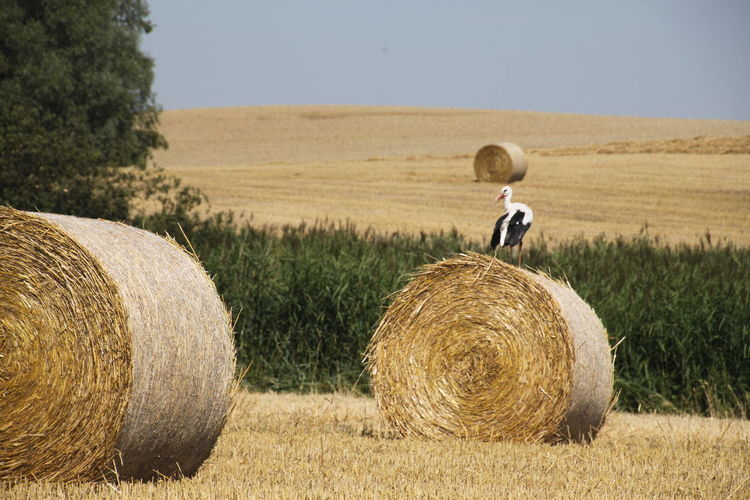 three hay bales and white stork Agriculture Bale  Cereal Plant Children Only Combine Harvester Crop  Day Farm Field Gold Colored Grass Harvesting Hay Hay Bale Haystack Horizon Landscape Nature One Person Outdoors People Rolled Up Rural Scene Sky Wheat An Eye For Travel Summer Exploratorium