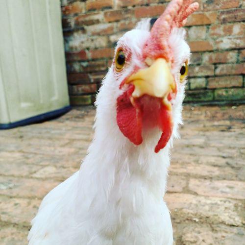 crazy chicken Hen