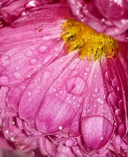 Multi Colored Close-up Pink Color Yellow Flower Fragility Water Raindrops Abstract Macro Beauty In Nature No People Outdoors The Purist (no Edit, No Filter) Eyeem Best Shots Popular Photo EyeEm Nature Lover Freshness EyeEm Best Shots Millennial Pink