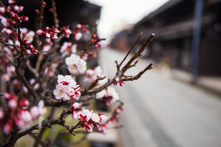 Close-up of pink cherry blossom at takayama village