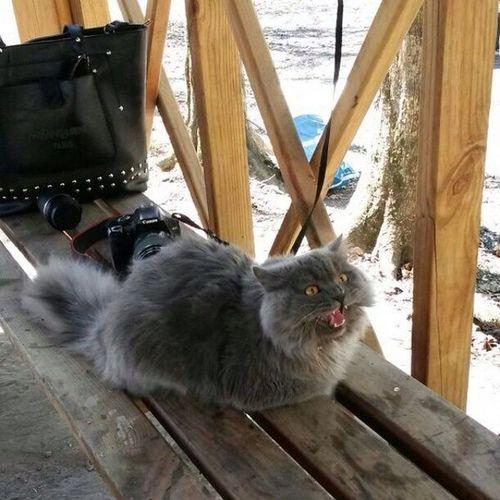 Belgrad Ormanı Duman Cat kedi artiz atarlı british longhair saldırır fena başa bela