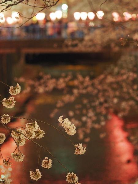 Taking Photos Taking Pictures Relaxing Streetview Bokeh Photography Bokeh From My Point Of View Night View Street Nightphotography Streetphotography Night Lights Night Light And Shadow Naturelovers Walking Around Relaxing EyeEm Nature Lover Flower Collection Meguro Yozakura Megurogawa Meguro River Flowerporn Flowers