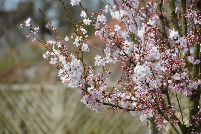 April 2016 Beauty In Nature Blooming Blossom Branch Cherry Blossom Cherry Tree Close-up Flower Focus On Foreground Fragility Freshness Fruit Tree Growth In Bloom Nature Pink Color Selective Focus Spring Spring Flowers Springtime Tree Twig