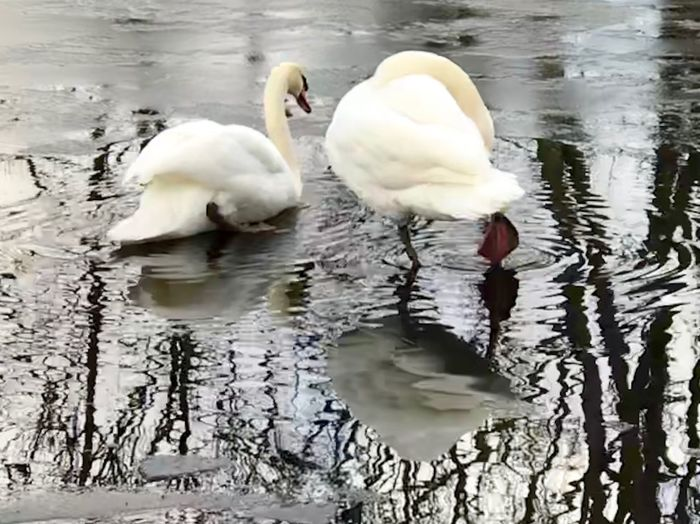 Swans On Ice Water Animals In The Wild Animal Themes Reflection Lake Animal Wildlife Swan
