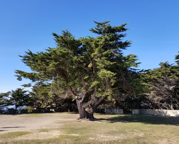 beautiful grand tree Blue Sky And Clouds Day Sunny Sutro Park Tree Clear Sky Blue Sky Landscape Branch Tree Trunk Growing Tranquility