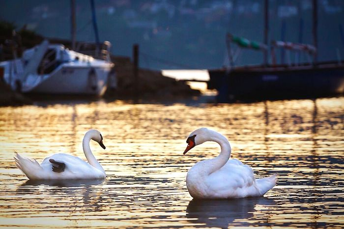 Capture The Moment Sunset Lakezywieckie Jezioro żywieckie Water Lake Animal Swan Swans Swans On The Lake