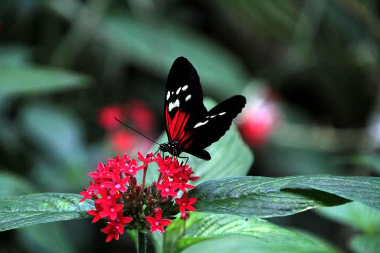 Close-up of butterfly on red flowers