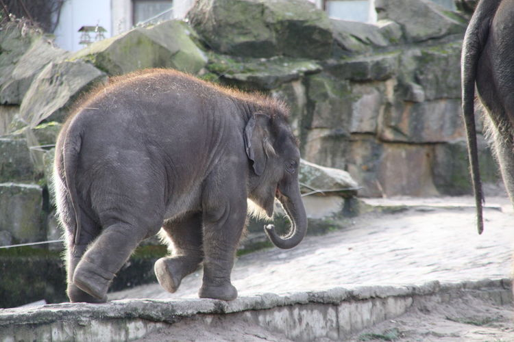 Side view of elephant calf walking on footpath at zoo