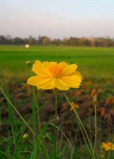 Flower Flower Head Plant Field Summer Yellow Nature Outdoors Growth No People Plant Beauty In Nature ❤️❤️ Springtime Thailand🇹🇭 2018 Day Tree Sky Full Length Green Color EyeEmNewHere Tranquility Beauty In Nature