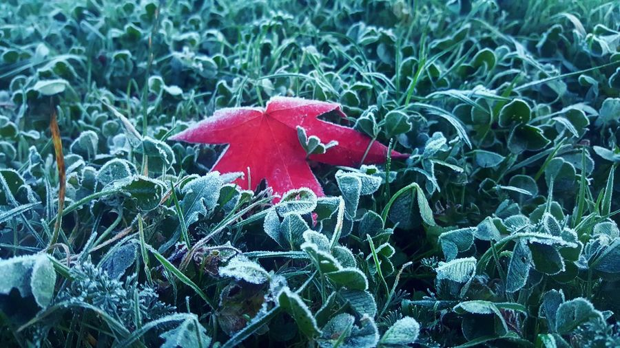 Autumn🍁🍁🍁 Red Walking To Work Red Red Growth Plant Leaf Nature Beauty In Nature Green Color Outdoors No People Fragility Close-up Day Flower Head Fly Agaric Mushroom Growth Plant Leaf Nature Beauty In Nature Green Color Outdoors No People Fragility hoarfrost