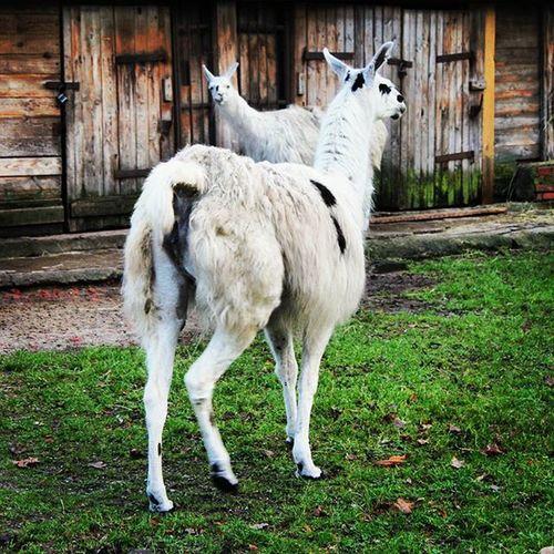 карликовая лама калининград