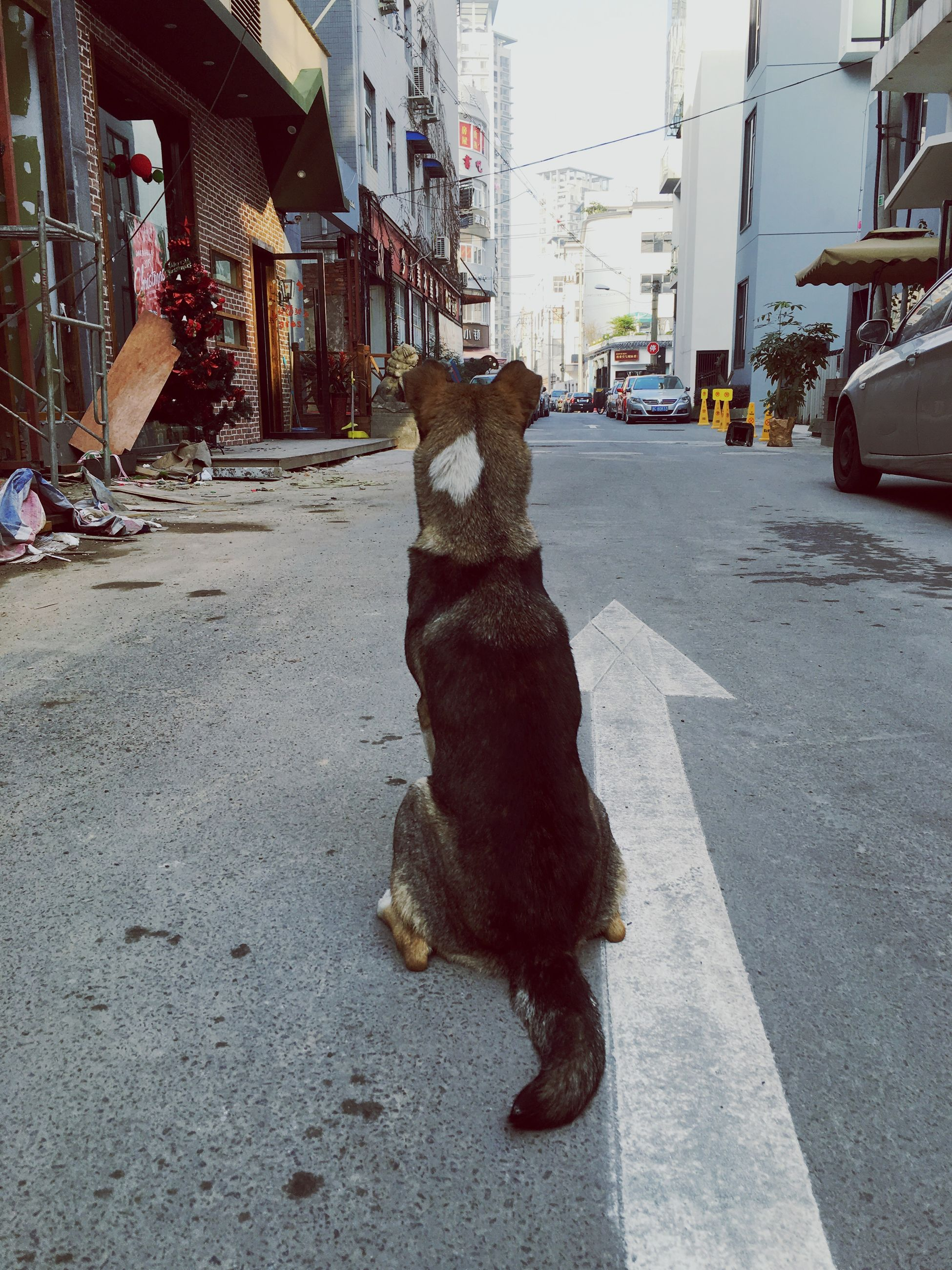 building exterior, street, built structure, architecture, animal themes, one animal, city, domestic animals, dog, pets, car, transportation, sidewalk, mammal, road, cobblestone, outdoors, day, incidental people, walking