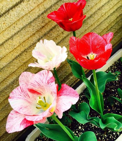 Tulips🌷 Tulips Belanda Nature Spring Flowers Red Pink Flower Pink