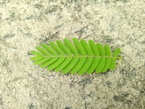 Tamarind Leaves Green Green Leave Leaf Concrete Floor Drop Tree Floor Many Leaves On The Ground Green Color High Angle View Growth Directly Above Outdoors Nature Day Plant No People Leaf Close-up