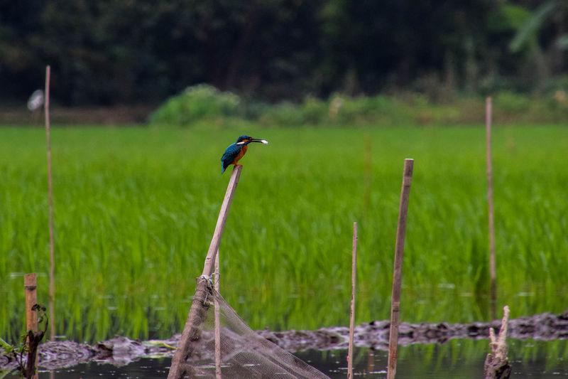 Kingfisher on Tam Coc river Kingfisher Green Animal Animal Themes Animals In The Wild Animal Wildlife Travel Travel Photography Bird Rice Paddy Tree Grass