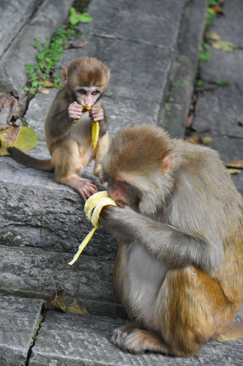 Close-up of monkey eating banana with infant outside temple
