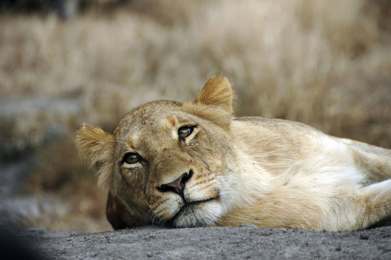 Lioness Relaxing At Zoo
