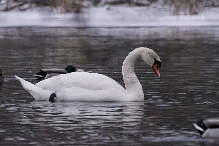 Sorry for the spam :D Mute Swan Showcase February 2018 Niklas Februari 2018 Animals In The Wild Swan Lake Bird Animal Wildlife One Animal Water Swimming Animal Themes Water Bird Reflection Floating On Water No People Nature Day Outdoors