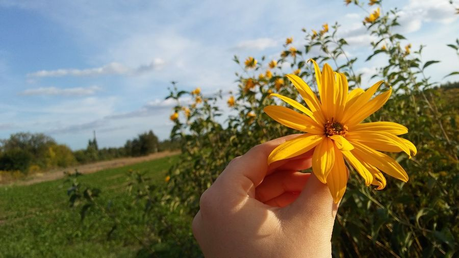 Close-up of hand holding yellow flowering plant on field