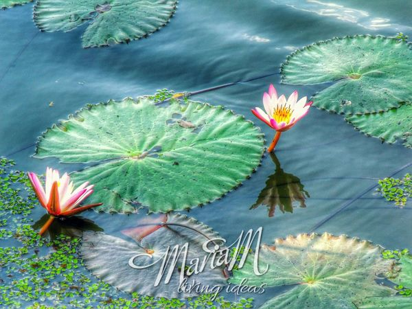 Lotus Flower Lotus Leaf Pond Life Water Reflections Sikil Traveler