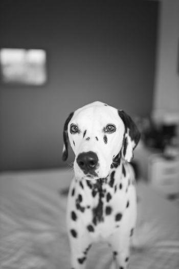 Snowflake Dogsofeyeem London USA EyeEm Best Shots EyeEmNewHere EyeEmNewHere EyeEm Selects Instagood Instadaily Instadog Australia Lightroom Beagle Pit Bull Terrier Protruding Pet Collar Canine