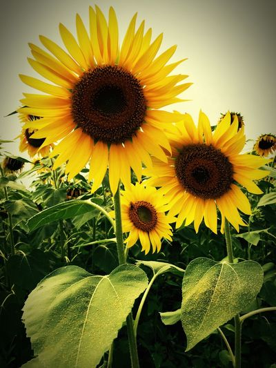 Sunflower 向日葵 🌻 Summer IPhoneography