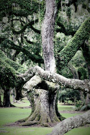 oaks Oaktreeshutterbug Oak Trees Oak Tree Shutterbug Beautiful Nature Daylight Texture Avery Island South Louisiana Green Greenery