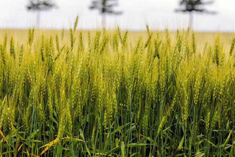 Wheat Field at