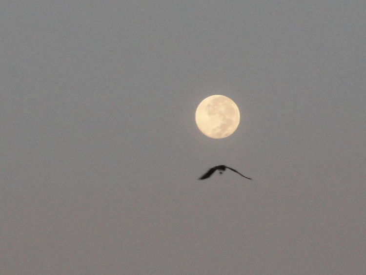 Animal Animal Themes Animal Wildlife Animals In The Wild Beauty In Nature Bird Copy Space Flying Full Moon Low Angle View Mid-air Moon Moonlight Nature No People One Animal Outdoors Planetary Moon Scenics - Nature Sky Space Spread Wings Vertebrate