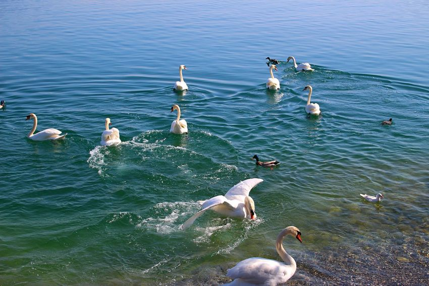 Animal Animal Themes Animal Wildlife Animals In The Wild Animals In The Wild Day Duck Group Lake Nature Outdoors Summer Swan Swans Swimming Water