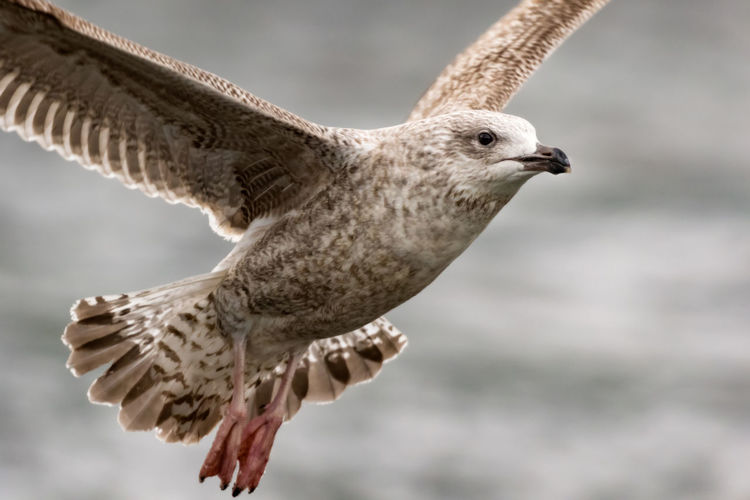 Close-up of flying herring gull in stockholm