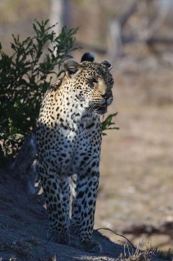Leopard Leopardo Leopards African Safari Africa African Beauty Wildlife & Nature Wildlife Wildlife Photography Sabi Sands Animals In The Wild Animal Photography Wilderness Wild Animal Wildlife Photos Animal Love Animal Collection Animal Portrait Animallovers Animal Themes Save The Nature