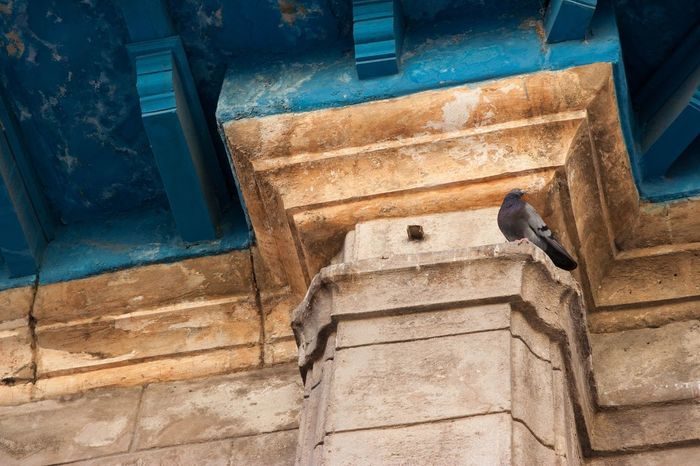 indigo in Cuba Architecture Architectural Column Indigo Blue Pigeon Bird  Cuba Havana Architecture Day Built Structure No People Low Angle View Outdoors
