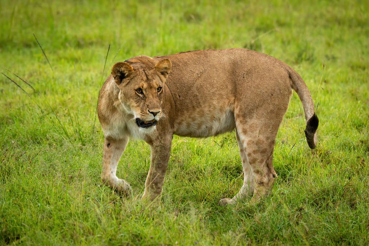 Full length of a cat walking on field