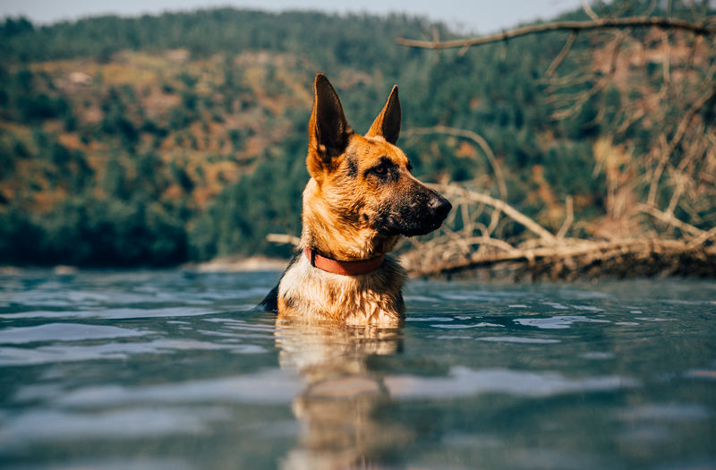 Kira on the summer days <3 Dog Dog Love Dog❤ German Shepherd Nature One Animal Portugal River Swimming Water Waterfront First Eyeem Photo