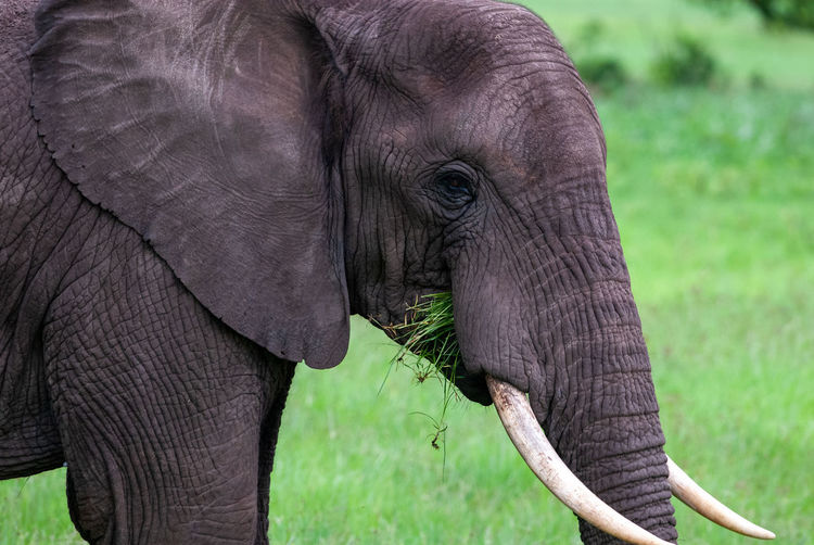 Close-up of elephant on field